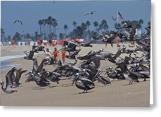 Junior Lifeguards And Pelicans Greeting Card