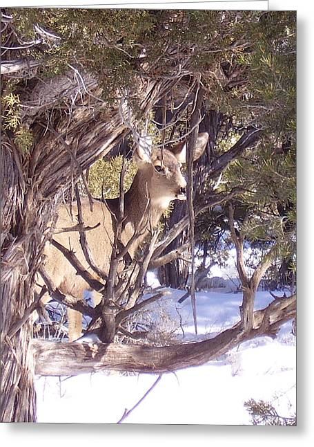 Juniper Deer Greeting Card by FeVa  Fotos