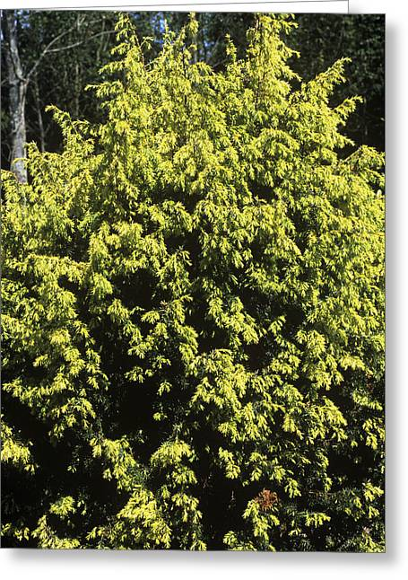 Juniperus Communis 'golden Showers' Greeting Card by Adrian Thomas