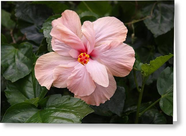 Greeting Card featuring the photograph Just Blossoming Hibiscus by Craig Wood