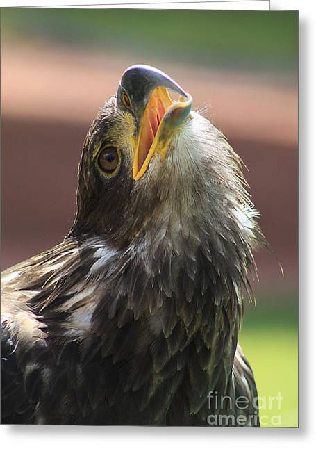 Greeting Card featuring the photograph Juvenile Bald Eagle by Alyce Taylor