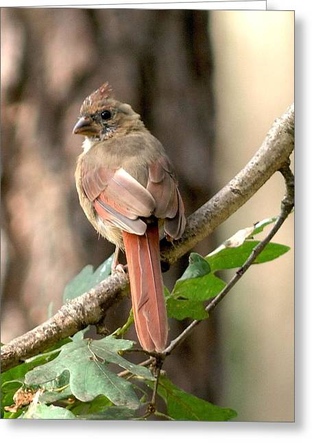 Juvenile Female Cardinal Camouflaged Greeting Card