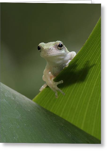 Greeting Card featuring the photograph Juvenile Grey Treefrog by Daniel Reed