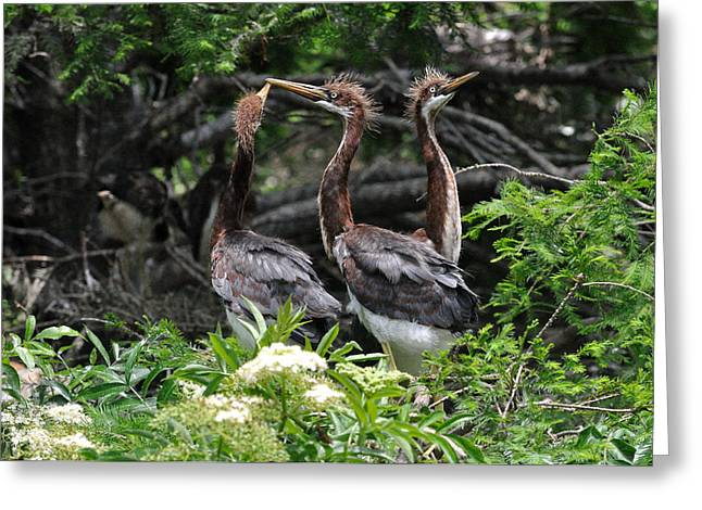 Juvenile Herons Greeting Card by Ernst Schwarz