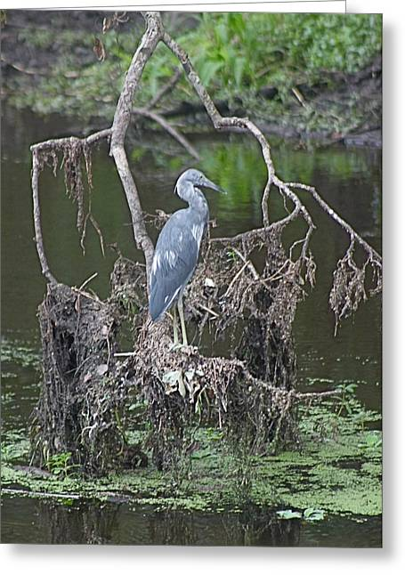 Juvenile Little Blue Heron Greeting Card by Jeanne Kay Juhos