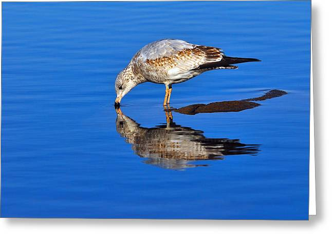 Juvenile Ring-billed Gull  Greeting Card by Tony Beck