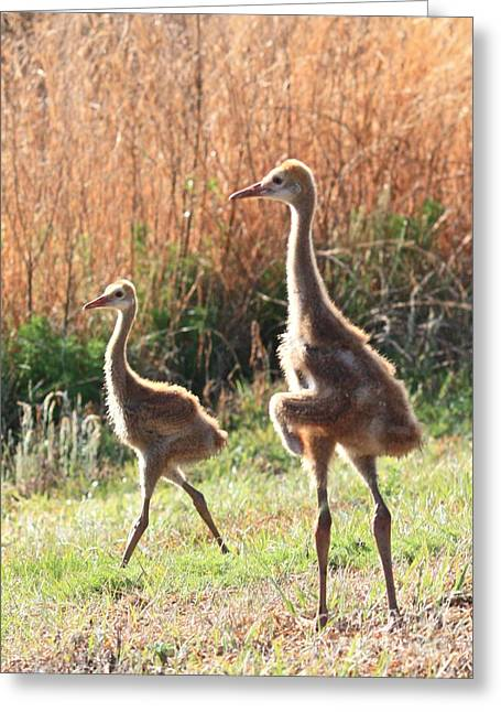 Juvenile Sandhill Crane Siblings Greeting Card by Carol Groenen