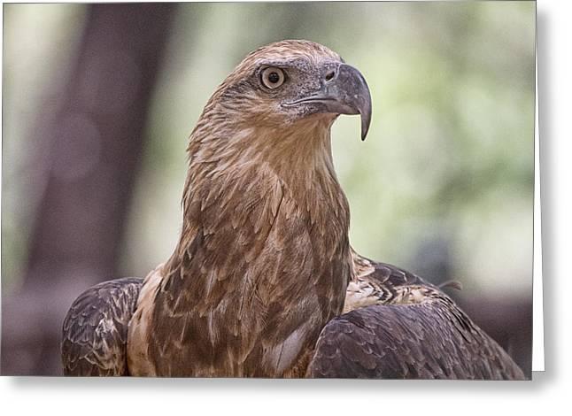 Juvenile Sea Eagle Greeting Card by Douglas Barnard