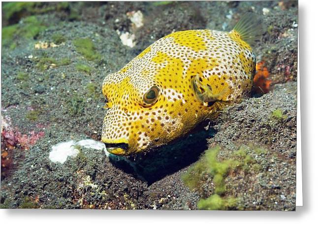 Juvenile Star Puffer Greeting Card by Georgette Douwma