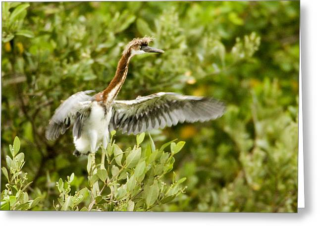 Juvenile Tricolored Heron Egretta Greeting Card by Tim Laman