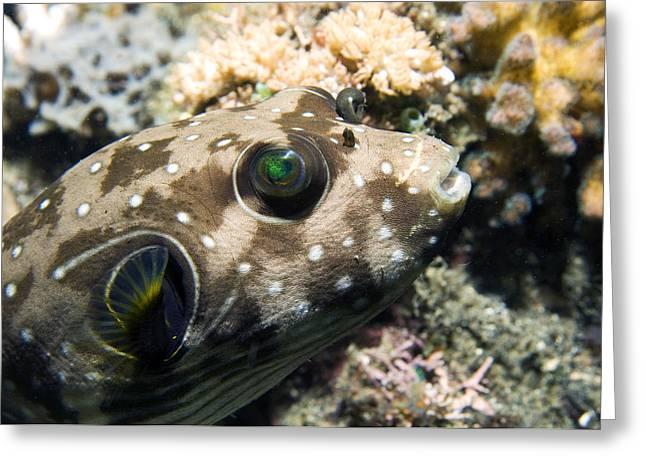 Juvenile White-spotted Pufferfish Greeting Card by Georgette Douwma