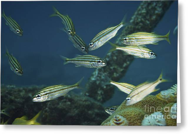 Juvenile Yellow Striped Grunts Greeting Card