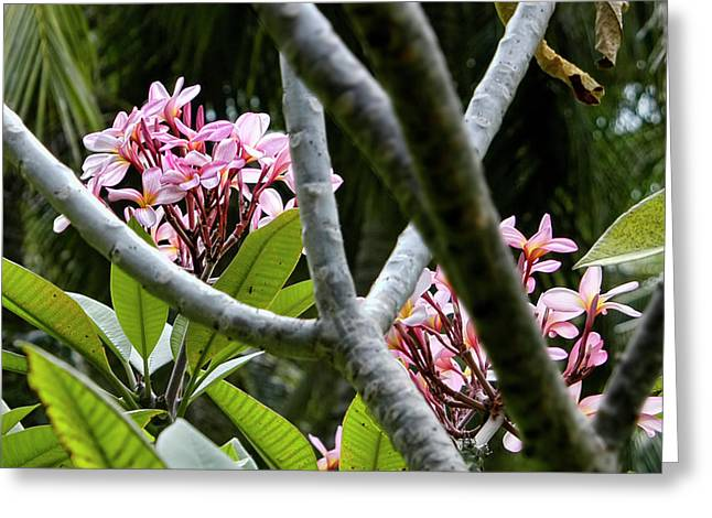 Kalachuchi Flowers Greeting Card by Andre Salvador