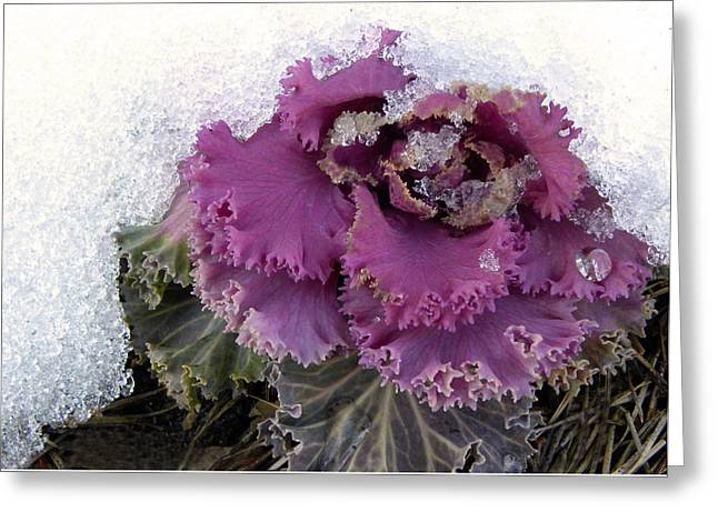 Kale Plant In Snow Greeting Card by Sandi OReilly