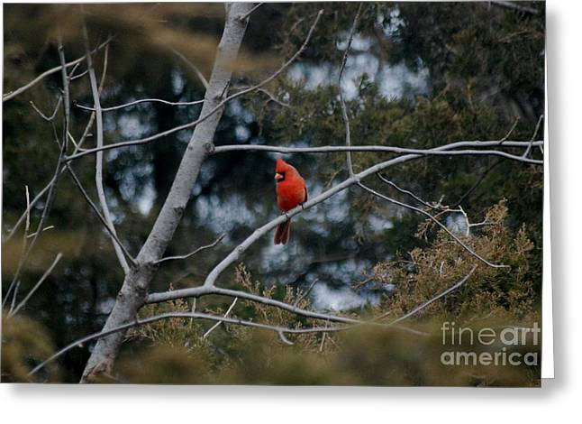 Greeting Card featuring the photograph Kansas Cardinal by Mark McReynolds