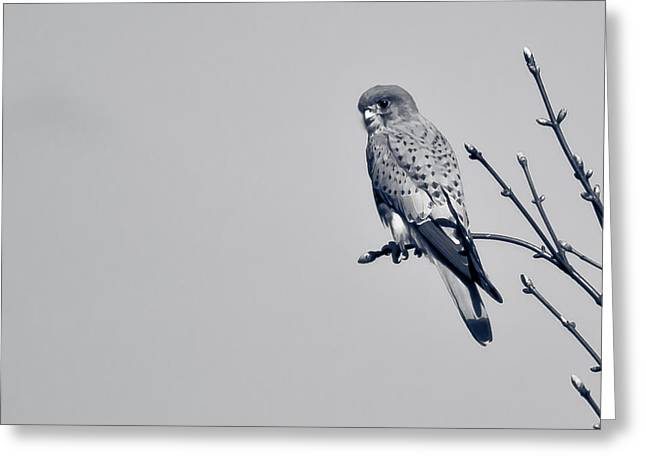 Greeting Card featuring the photograph Kestrel by Justin Albrecht