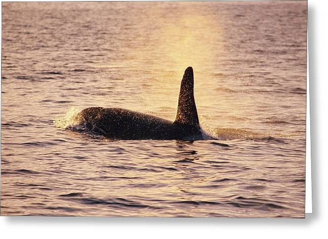 Killer Whale Greeting Card by Alexis Rosenfeld