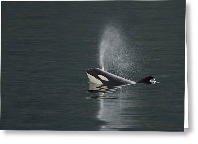 Killer Whale Calf Blows As It Surfaces Greeting Card by Ralph Lee Hopkins