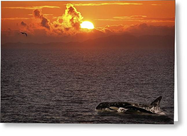 Killer Whale In The Water Greeting Card by Richard Wear