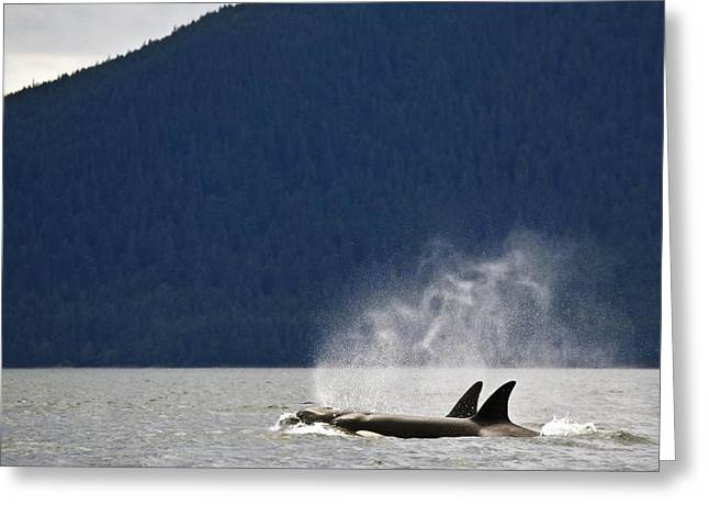 Killer Whales, Alaska, Usa Greeting Card by Richard Wear