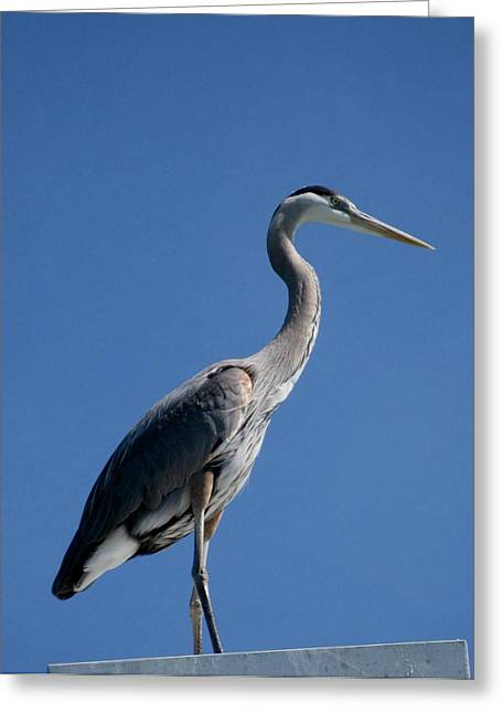 King Blue Greeting Card by Kathy Long