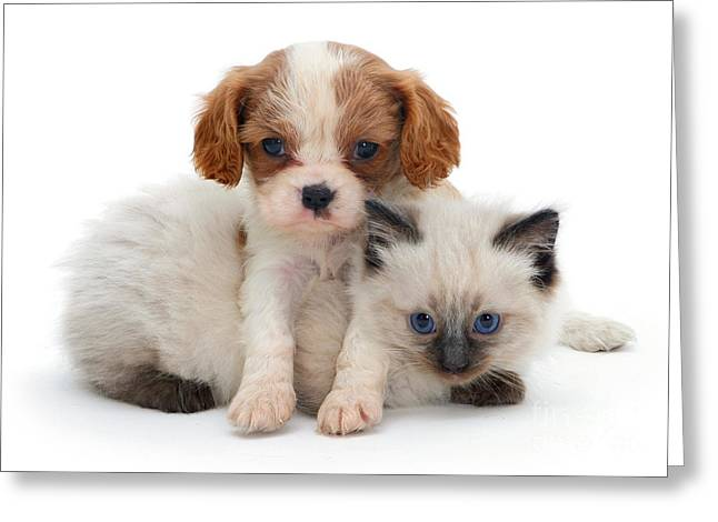 King Charles Spaniel And Ragdoll Kitten Greeting Card by Jane Burton