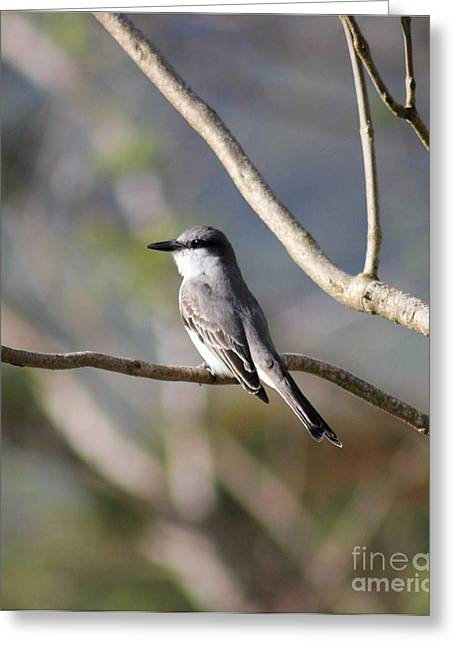 Kingbird Greeting Card