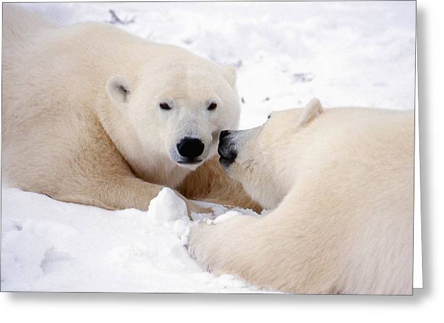 Kissing Bears Greeting Card