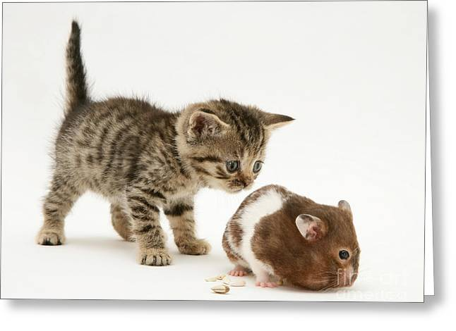 Kitten And Hamster Greeting Card by Jane Burton