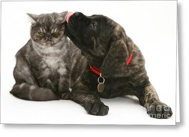 Kitten Licked By Dog Greeting Card