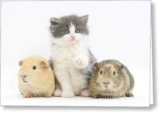 Kitten With Guinea Pigs Greeting Card by Mark Taylor
