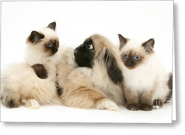 Kittens And Puppy Greeting Card