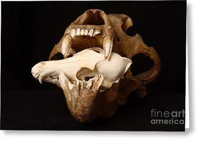 Kodiak Bear Skull With Coyote Skull Greeting Card