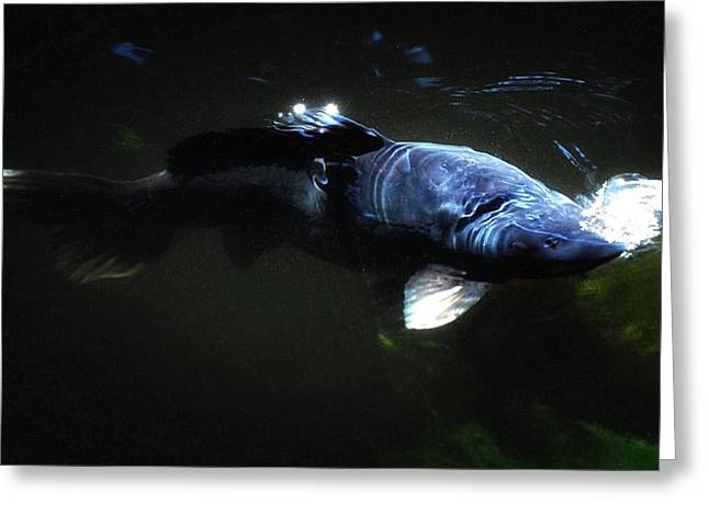 Koi Into The Light Greeting Card by Don Mann