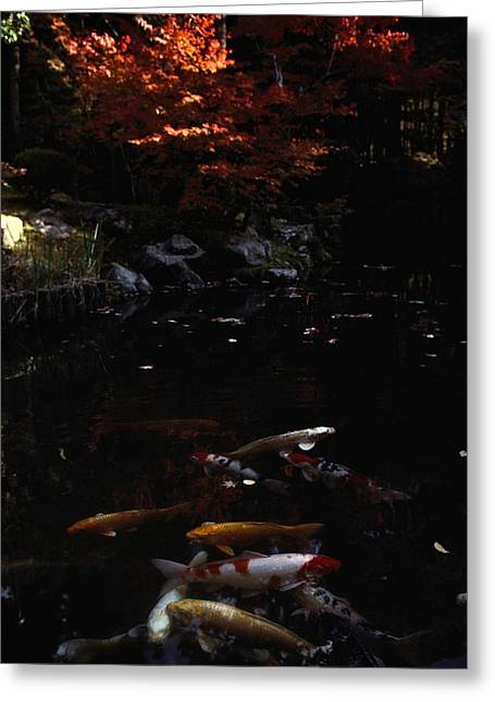 Koi Swim In A Pool Located Greeting Card by Sam Abell