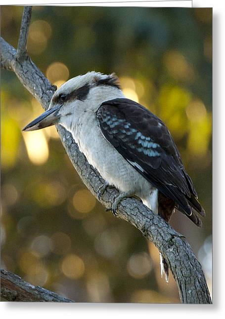 Greeting Card featuring the photograph Kookaburra by Serene Maisey