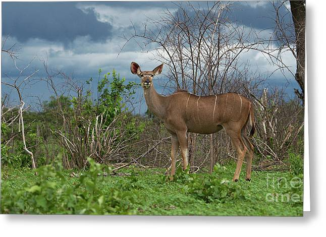 Kudu Female Posing Greeting Card
