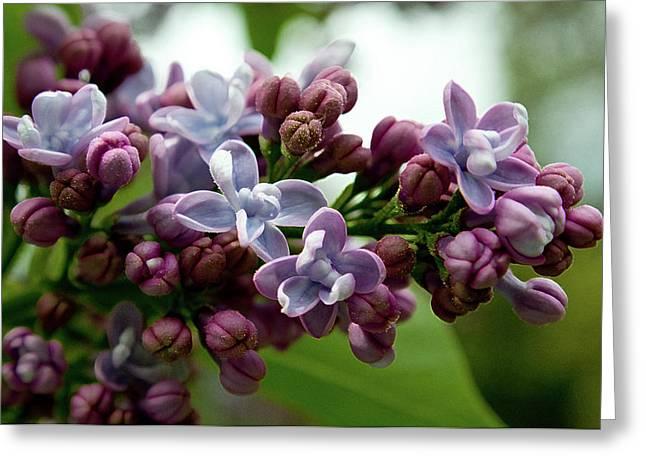 La La La Lilac Greeting Card
