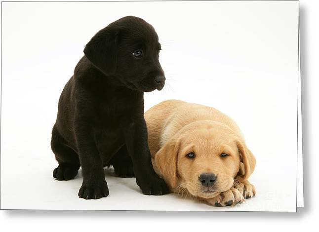 Labrador Pups Greeting Card by Jane Burton