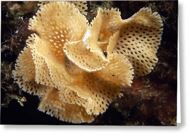 Lace Coral Bryozoan Greeting Card by Alexis Rosenfeld