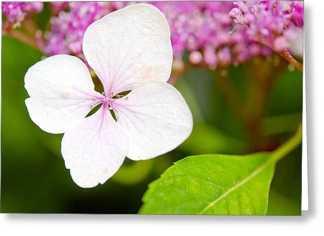 Lacecap Hydrangea Petal Greeting Card by MaryJane Armstrong