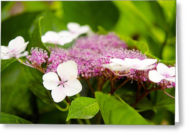 Lacecap Hydrangeas Greeting Card by MaryJane Armstrong