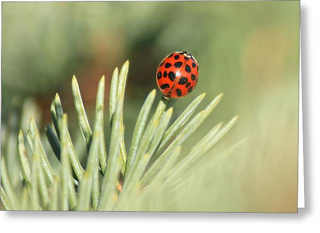 Greeting Card featuring the photograph Lady Beetle On A Needle by Penny Meyers