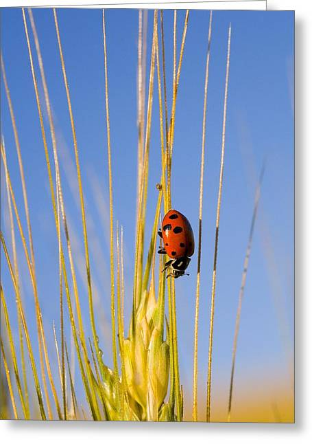 Lady Bug On A Plant Greeting Card by Craig Tuttle