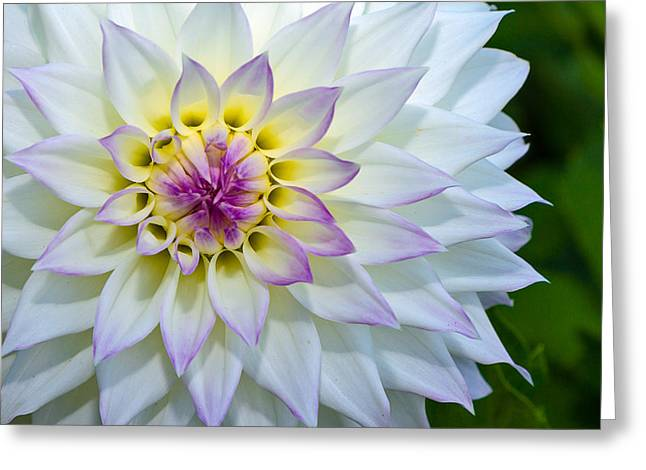 Lady Dahlia Greeting Card by Ken Stanback