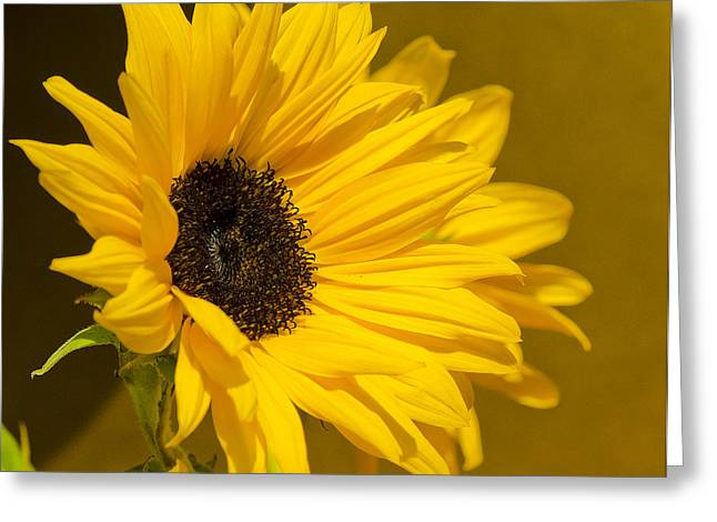 Lady Sunflower Greeting Card by MaryJane Armstrong