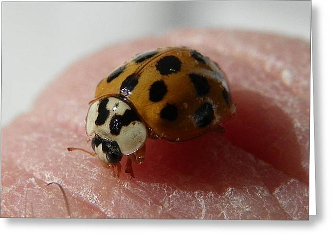 Greeting Card featuring the photograph Ladybug On Finger by Chad and Stacey Hall