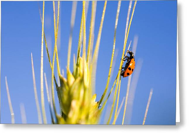 Ladybug On Wheat Greeting Card