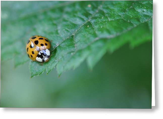 Ladybug Posing On Astilbe Leaf Greeting Card