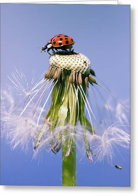 Ladybugs Dandelion Greeting Card